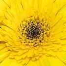 Yellow gerbera by Maggie Hegarty