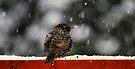 Snowy Starling by Jean Poulton