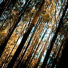 Stringybark sunlight by photografixdesi
