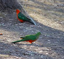 King Parrots - After TOO many years bordering on empty, Lake Eildon is on the rise, almost at full capacity shown here.   by warmonger62