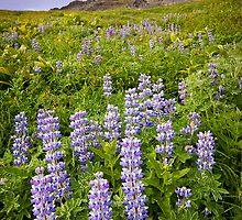 Lupins - Alaska by LukeAustin