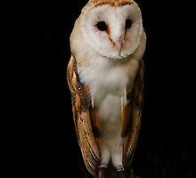 Barn Owl iPhone Case by Country  Pursuits