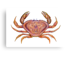 Dungeness Crab (Metacarcinus magister) Canvas Print