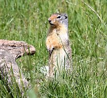 Watcha Doin? (Columbian Ground Squirrel) by Leslie van de Ligt