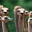 I SAY NO 6! - AT THE OSTRICH RACE - Struthio camelus by Magaret Meintjes