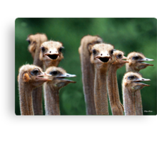 I SAY NO 6! - AT THE OSTRICH RACE - Struthio camelus Canvas Print