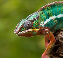 Chameleon on the prowl by Angi Wallace