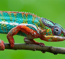 Chameleon beauty by AngiNelson