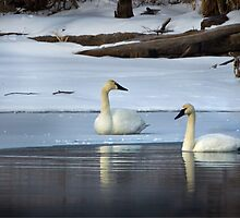 Swans in January thaw by Rupert Mcgrath