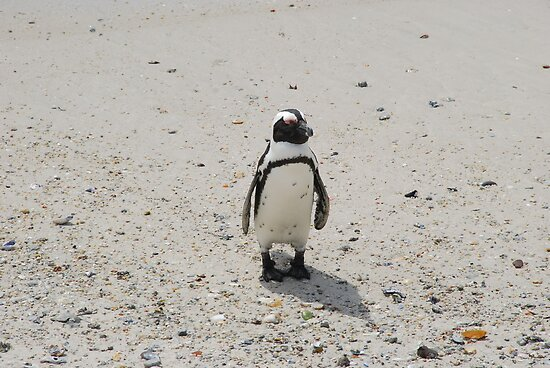 The African Penguin by kczpics