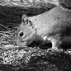 Grey Squirrel B&W by kaotic-shell