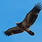 Immature Bald Eagle Flying by Michael Mill