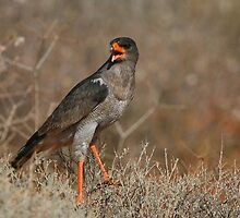 Southern Pale Chanting Goshawk Chanting by naturalnomad
