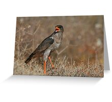 Southern Pale Chanting Goshawk Chanting Greeting Card