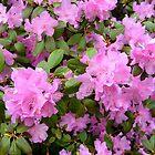 Azaleas by Jane Neill-Hancock