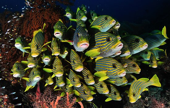 Yellow Ribbon Sweetlips by MattTworkowski