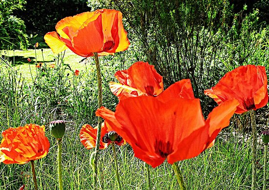 Poppy Days by lynn carter