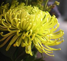 Spider Chrysanthemum by Linda  Makiej