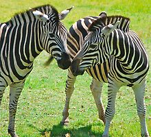 Zebra Kisses by Penny Smith