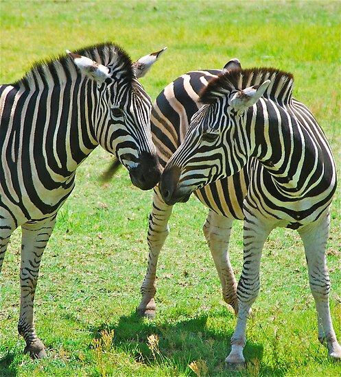 Zebra Kisses by Penny Smith
