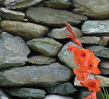 Stone Wall With Gladioli by Fara