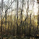 Silver Birch stand, Shire Hill by Mark Smitham
