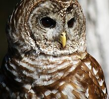 Barred Owl by Paulette1021