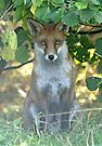 I spy a fox by Anthony Brewer
