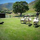 Manderlay Sheep Farm by Marcia Luly
