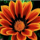 Spring flower..Gazania by jammingene