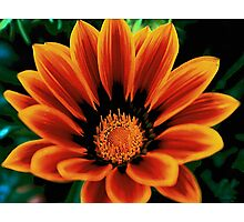Spring flower..Gazania Photographic Print