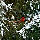 Cardinal in Lace by 3jsthree