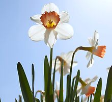 Orange and white daffodils by raldisomers