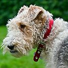 Henry ~ The Fox Terrier :) by Susie Peek