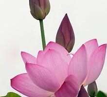 Lotus by TeresaB