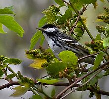 Blackpoll Warbler by Rupert Mcgrath