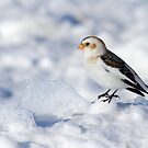 Snow Bunting by Bill McMullen