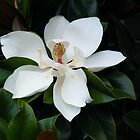 Southern Magnolia Bloom by DonCondley