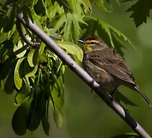 Palm Warbler by Rupert Mcgrath