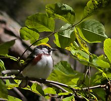 Chestnut sided warbler by Rupert Mcgrath