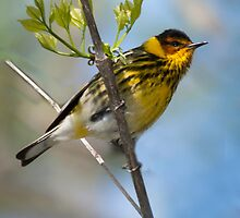 Cape May Warbler by Rupert Mcgrath