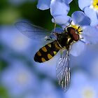 Forget Me Not Hover Fly by Gabrielle  Lees