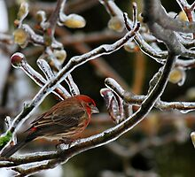 House Finch by Jean Poulton