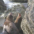 Seals on Ohau Point by wanderingtrucki