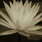 Waterlily in Sepia by Mattie Bryant