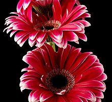 Triple Red Gerbera by Fe Messenger