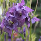 My Purple Columbine Twins by Rose Landry