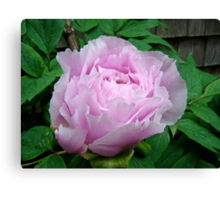 Pink Tree Peony Blossom Canvas Print