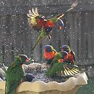 Fighting for a place to bathe Rainbow Lorrakeets  by graeme62