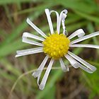 Poor little wild daisy by Dorothy Venter